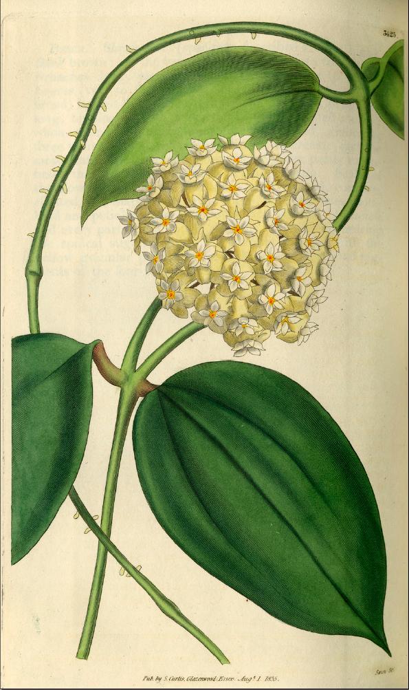 Curtis´s Botanical Magazine Tafel 3425 Bild von Hoya pottsii