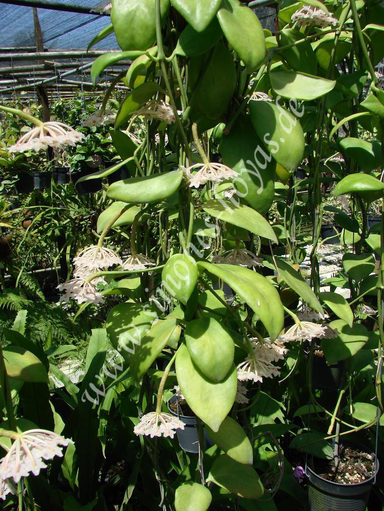 Hoya anulata Blütenreiche Pflanze in Thailand