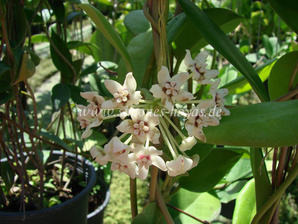 Hoya australis ssp. sanae Blüte im Detail