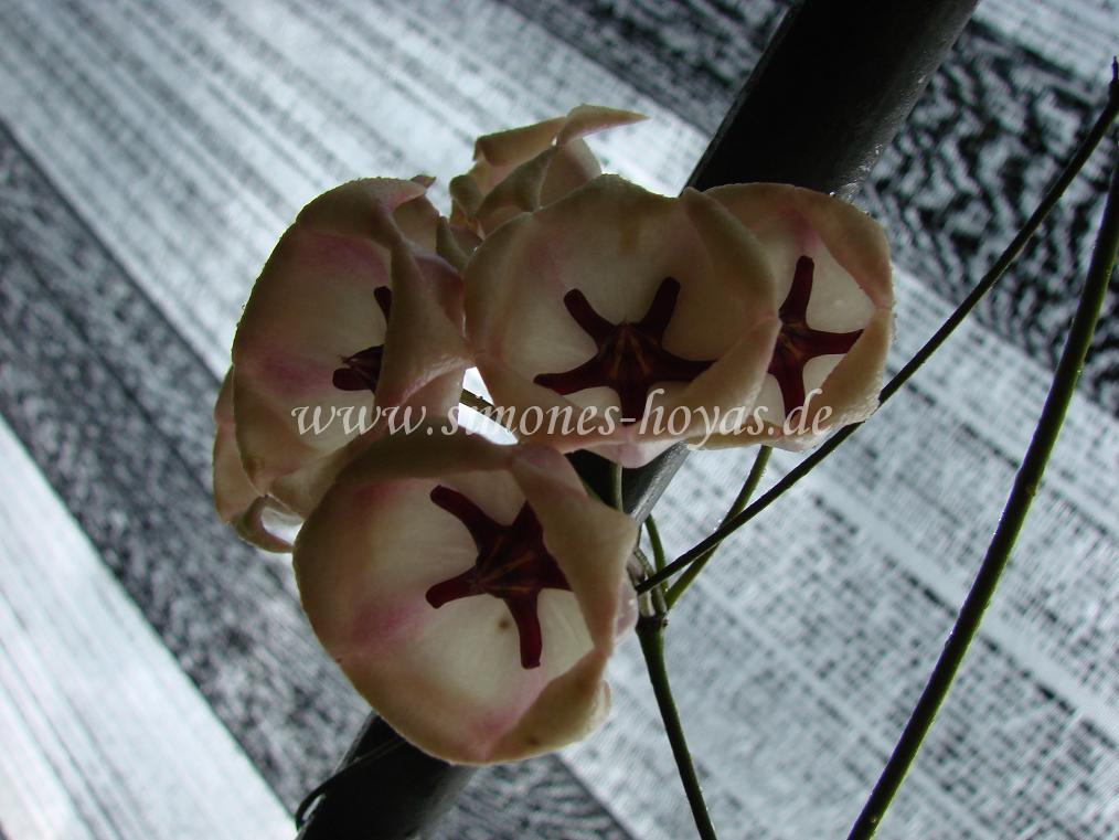 Hoya archboldiana Blütendolde in Thailand aufgenommen