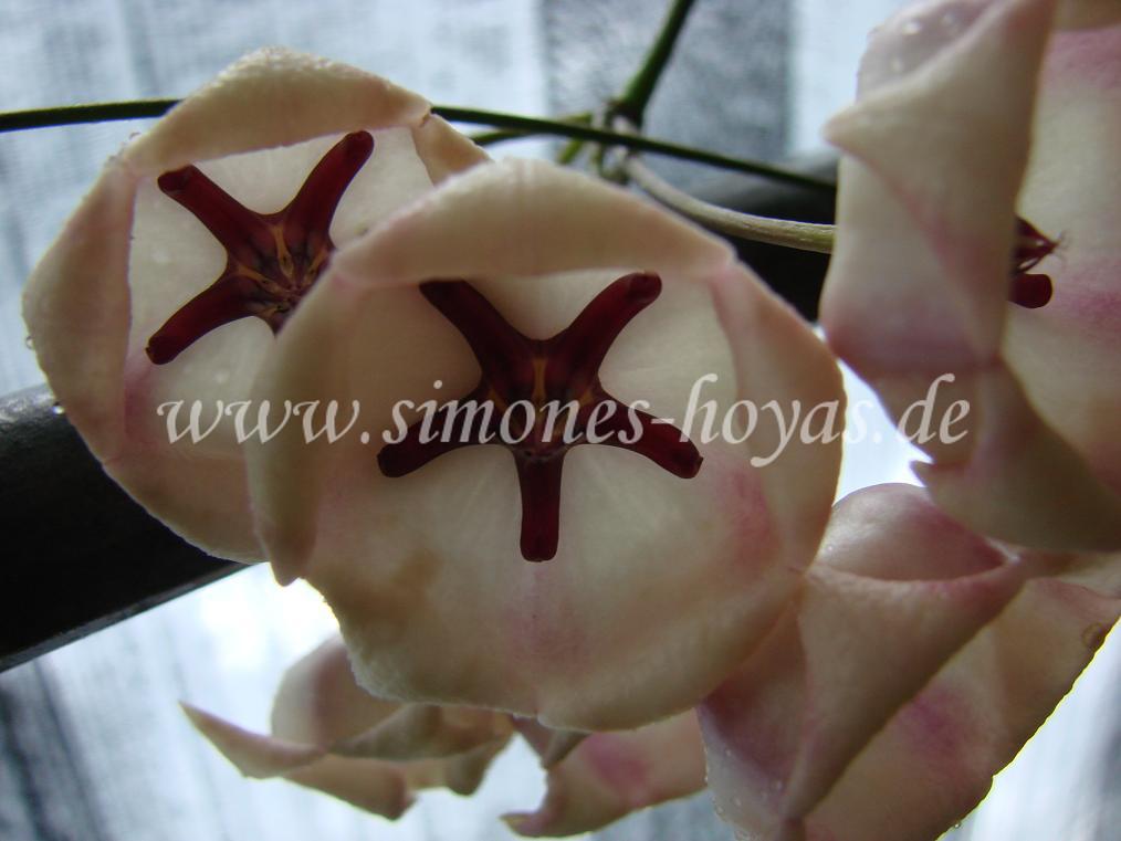Hoya archboldiana Blütendolde Nahaufnahme