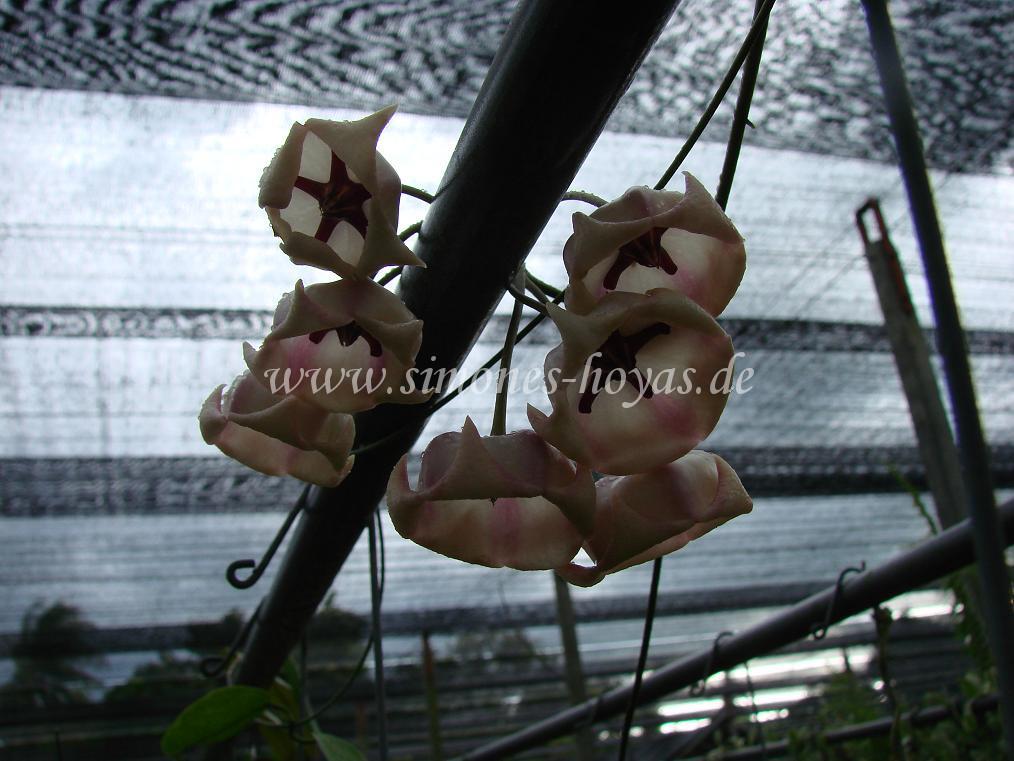Hoya archboldiana Blütendolde über Rohrleitung gewachsen