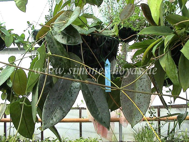 Hoya archboldiana Pflanze hängend