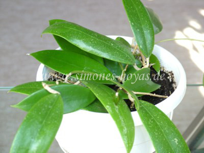 Hoya acuta im Topf weitere Pflanze