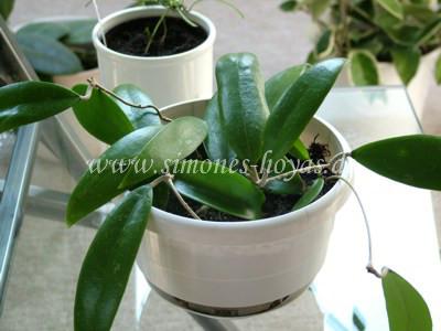 Hoya acuta im Topf eine andere Pflanze