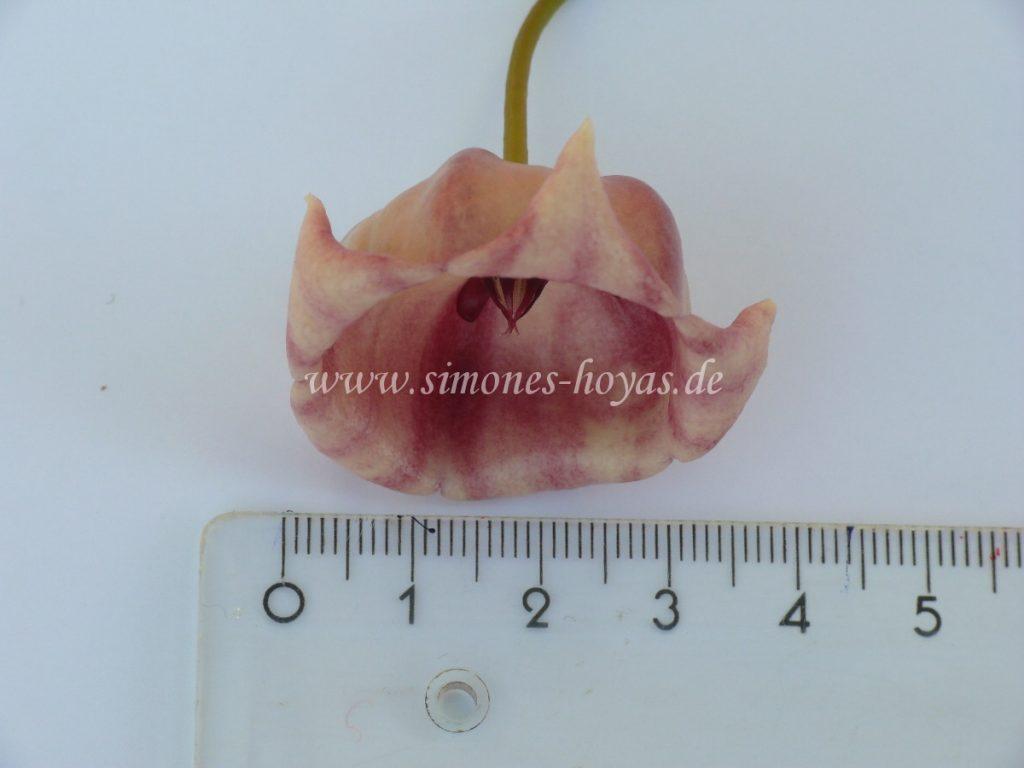 Hoya archboldiana Einzelblüte Ansicht von vorne