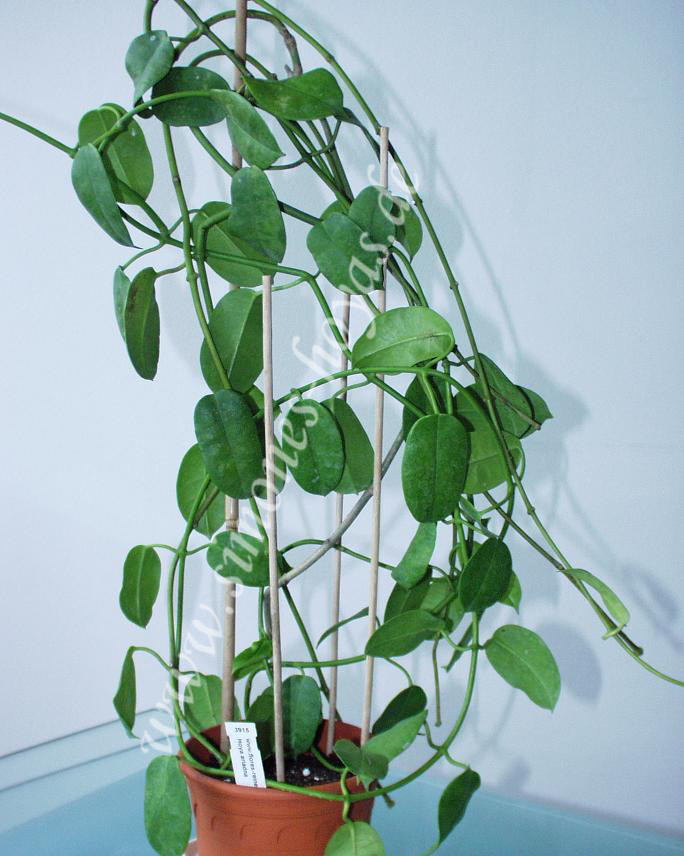 Hoya sussuela Topfpflanze 2