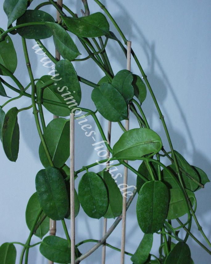 Hoya sussuela Topfpflanze 3