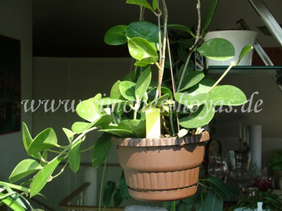 Hoya australis ssp. australis Pflanze 3