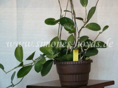 Hoya australis ssp. australis Pflanze 2