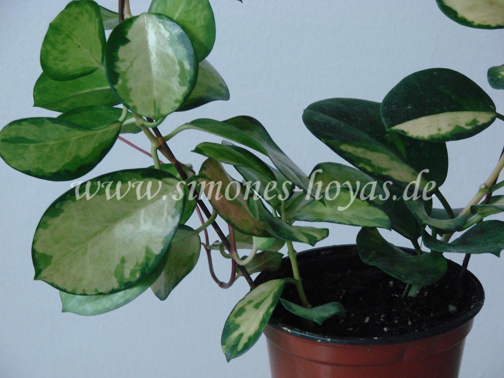 Hoya australis Lisa Pflanze 1