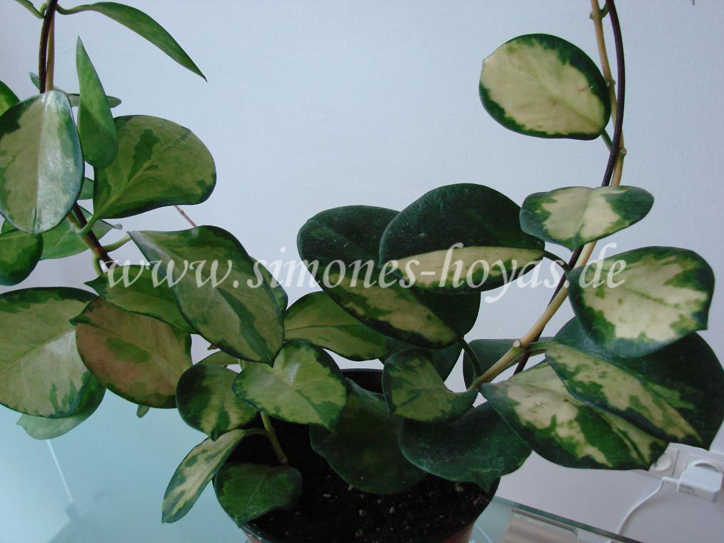 Hoya australis Lisa Pflanze 2