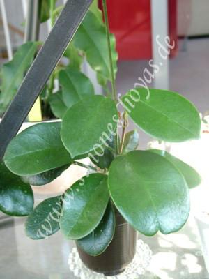 Hoya australis ssp. australis kleine Pflanze