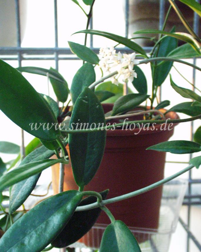 Hoya australis ssp. rupicola ganze Pflanze