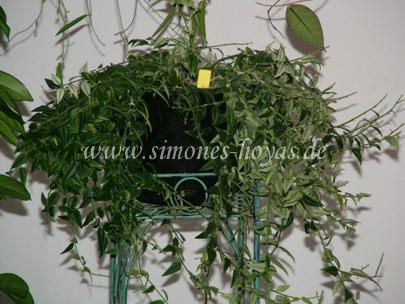 Hoya lanceolata ssp. bella Pflanze