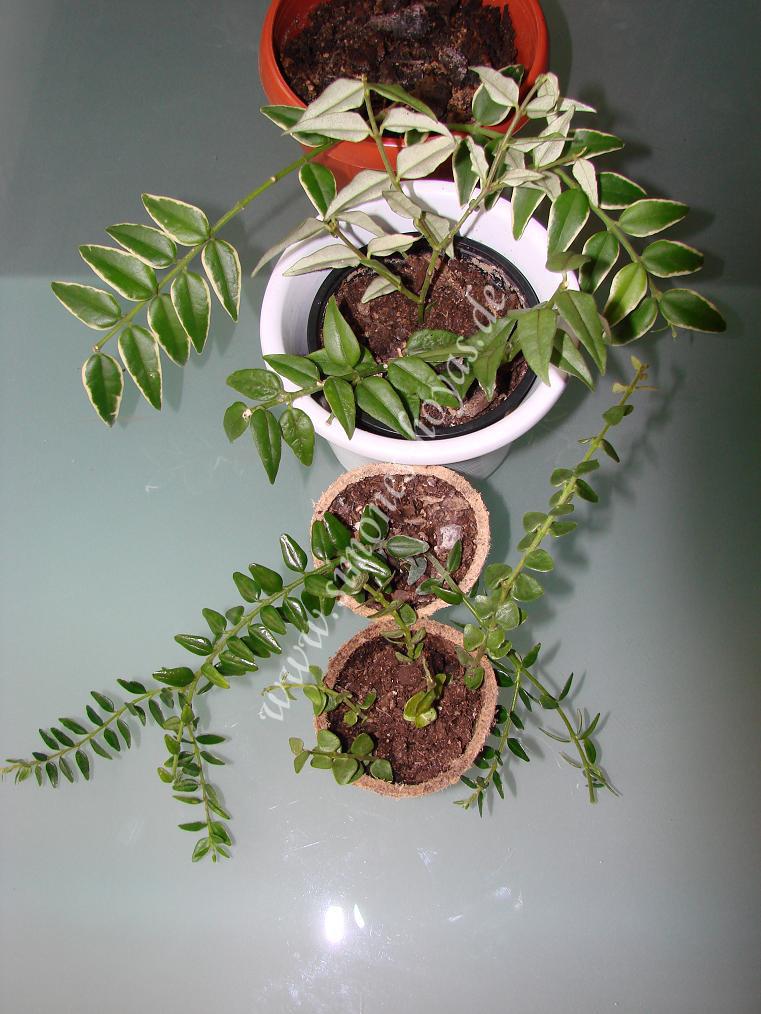 von oben nach unten H. lanceolata ssp. bella 'Albomarginata', H. lanceolata ssp. bella, H. dickasoniana, H. chinghungensis