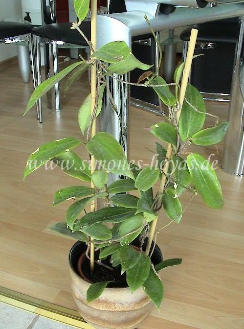 Hoya benguetensis Pflanze