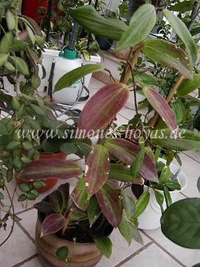 Hoya benguetensis Pflanze mit roten Blättern