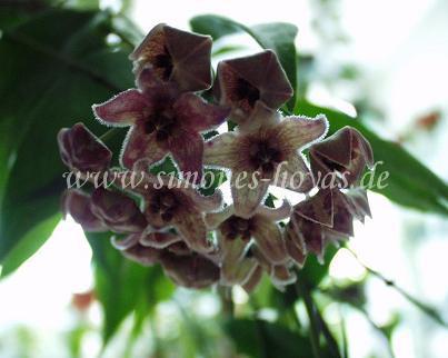 H. chlorantha var. tutuilensis blühend Bild 1