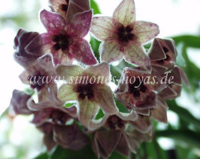 H. chlorantha var. tutuilensis blühend Detailaufnahme Bild 3