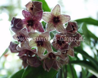 H. chlorantha var. tutuilensis blühend Bild 2
