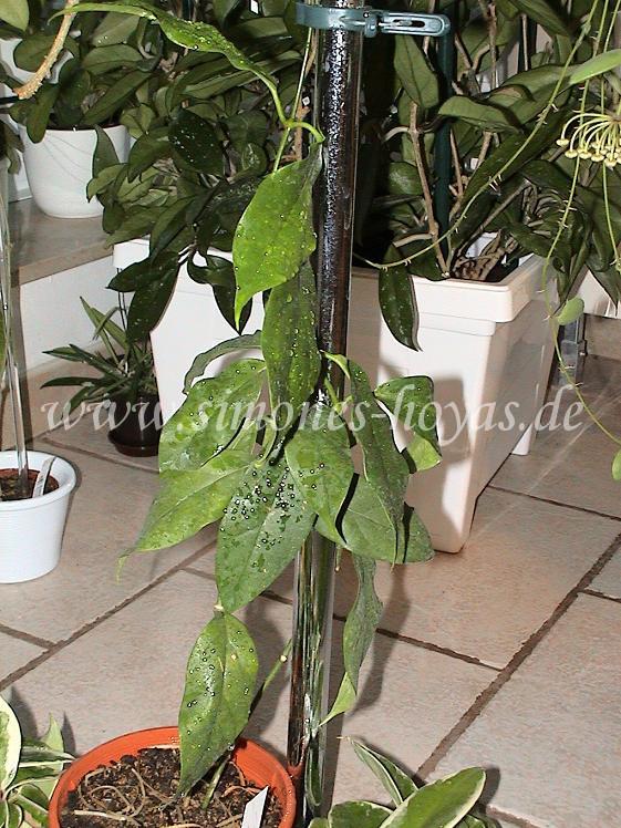 Hoya coriacea ganze Pflanze