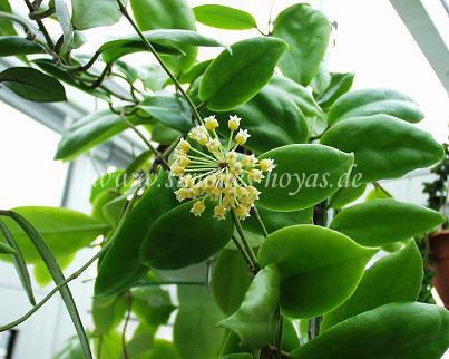 Hoya incrassata Pflanze mit Blüte Bild 1
