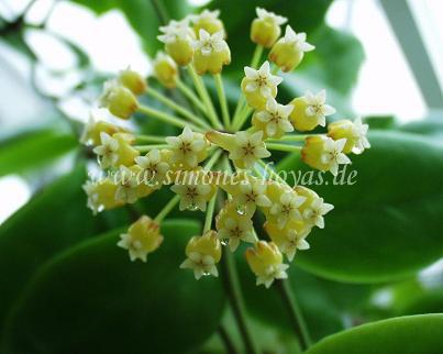 Hoya incrassata Pflanze mit Blüte Bild 2