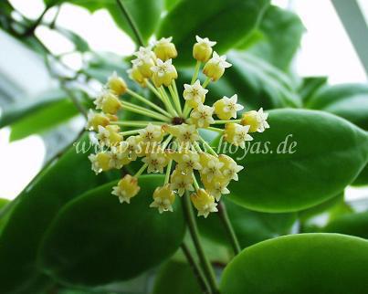 Hoya incrassata Pflanze mit Blüte Bild 3