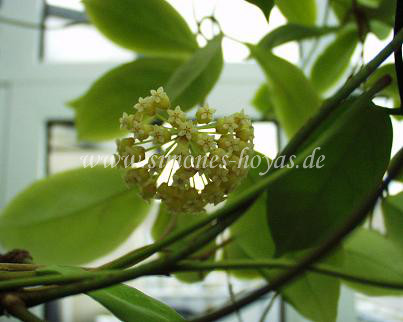 Hoya incrassata Pflanze mit Blüte Bild 4