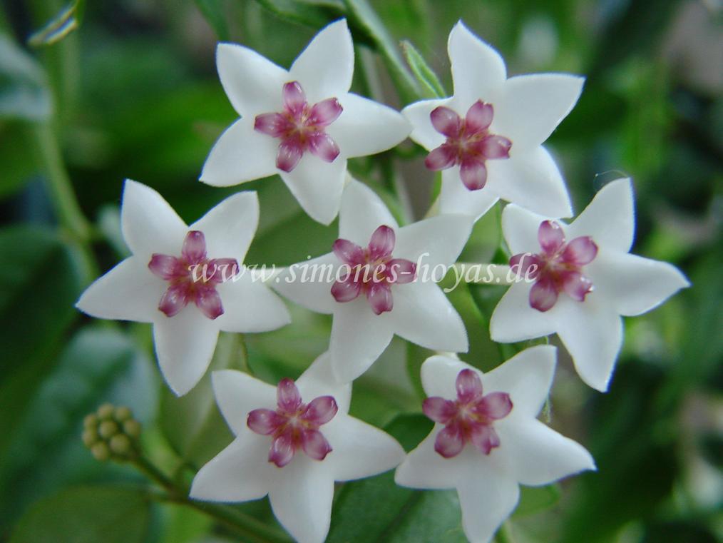 Hoya lanceolata ssp. bella Blüte