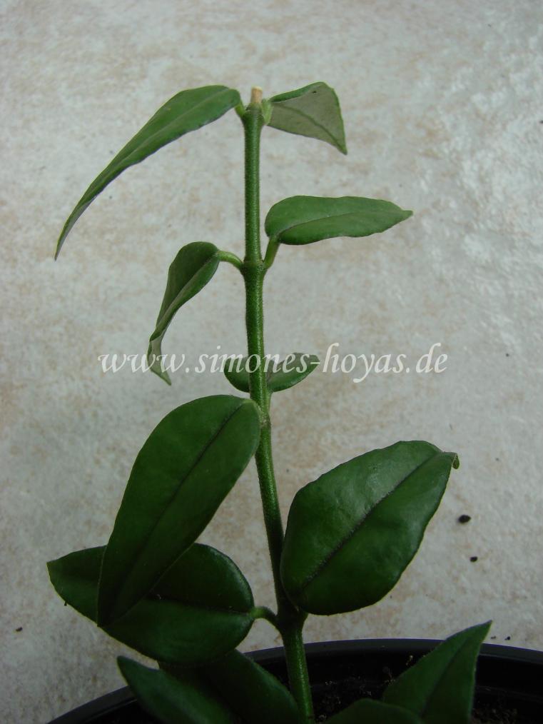 H. lanceolata ssp. bella