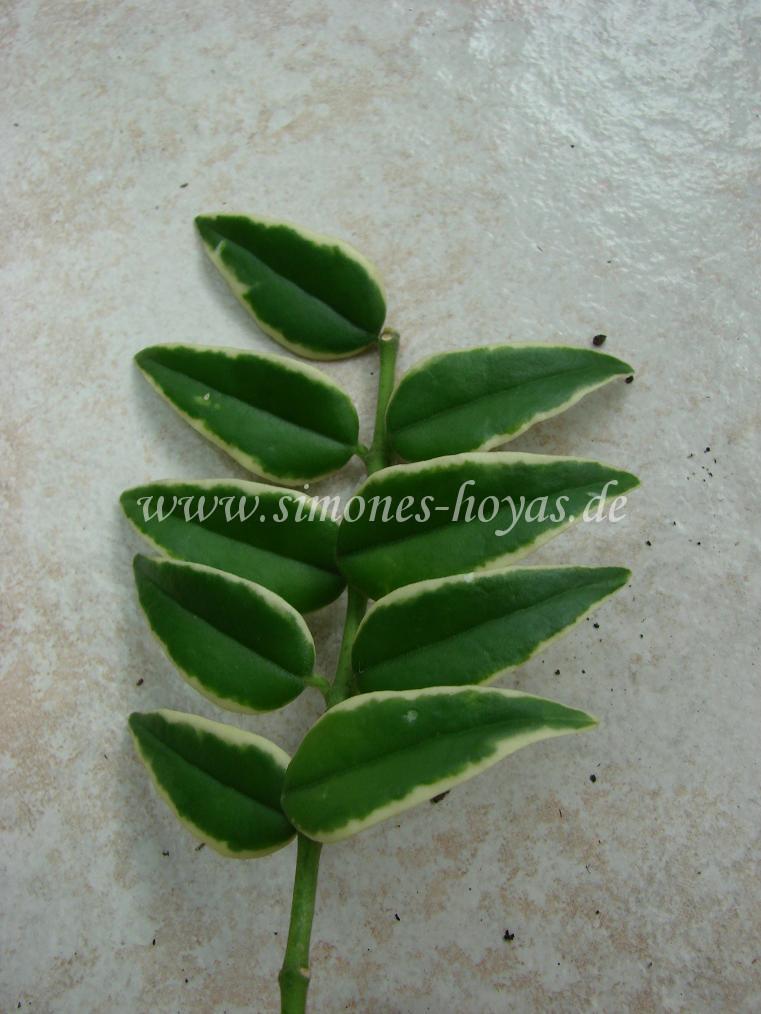 H. lanceolata ssp. bella Albomarginata Blätter