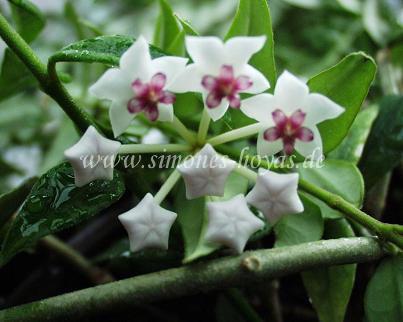 H. lanceolata ssp. bella Blüte Detailaufnahme