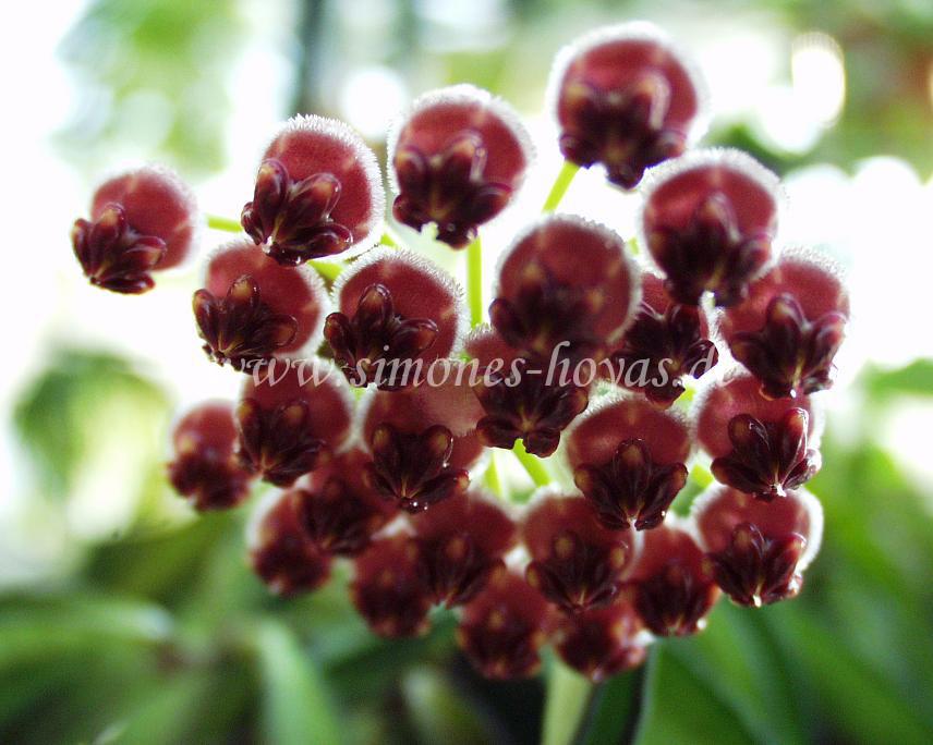 Hoya wayetii Blüte
