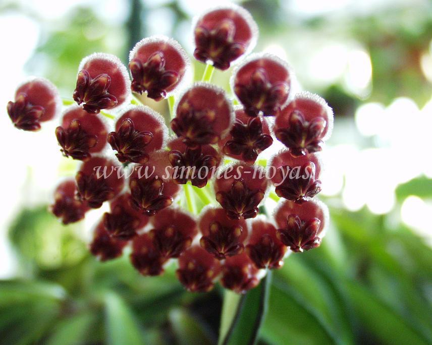 Hoya wayetii weitere Blüte