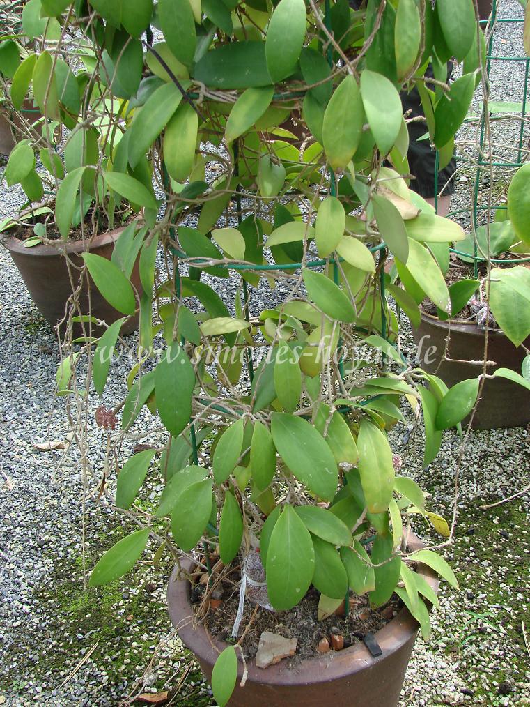 Hoya acuta ganze Pflanze im Topf