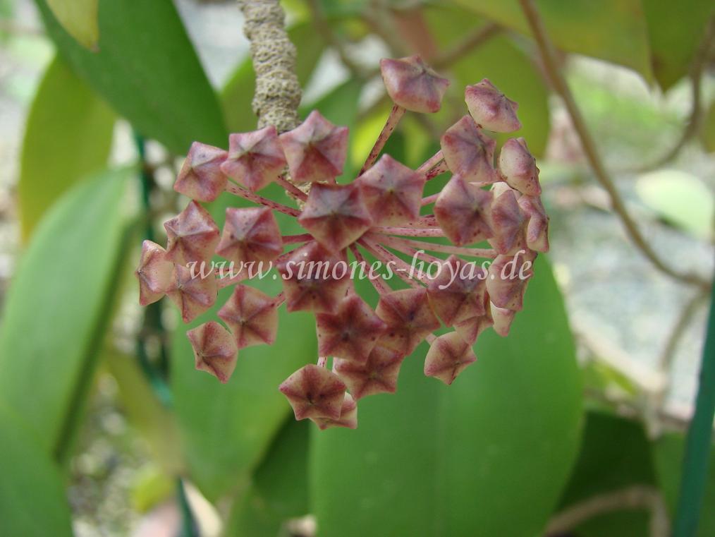 Hoya acuta Knospe