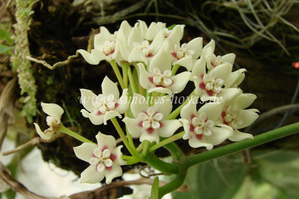 Hoya australis Blüte in natur Bild 1