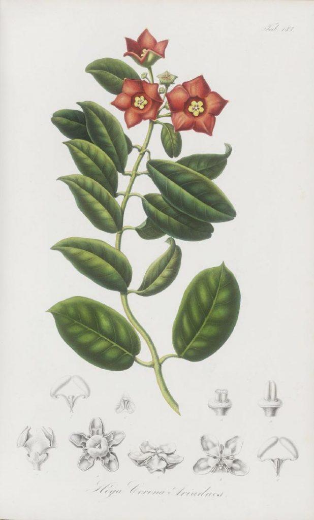 Abbildung  H. ariadna Decaisne aus Rumphia IV aus dem 19. Jhd.