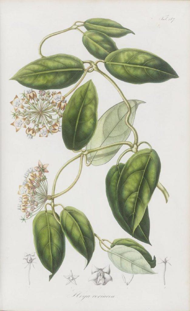 Hoya coriacea Abbildung aus Rumphia IV von 1848