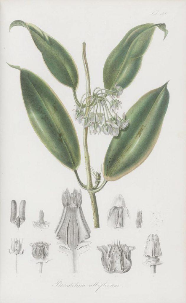 Abbildung von Pterostelma albiflorum aus Rumphia IV von 1848