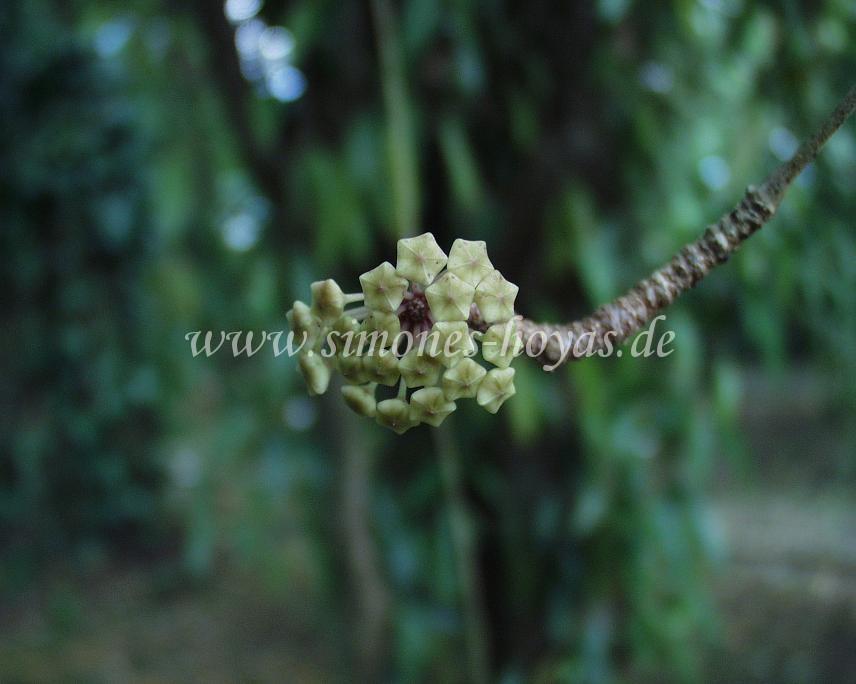 Hoya verticillata Knospe im Detail fotografiert