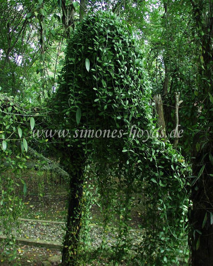 Hoya verticillata überwuchert ganzen Baum