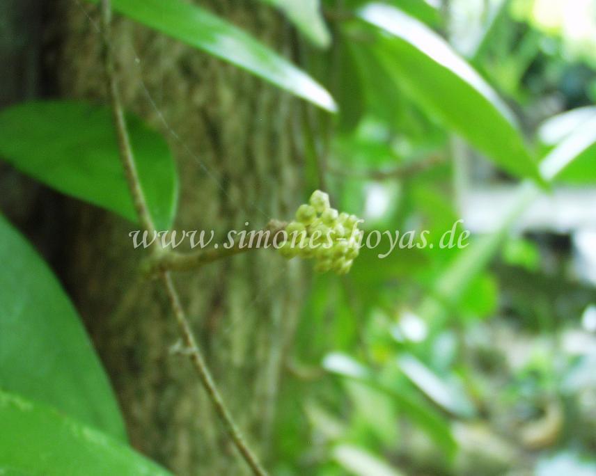 Hoya verticillata Knospe