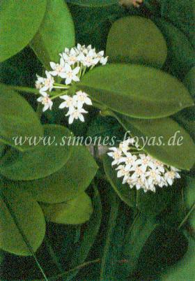 Hoya australis ssp. australis Pflanze mit Blüten