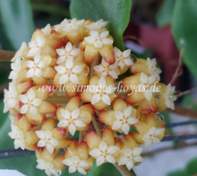 Hoya bicolor Blüte Detailaufnahme