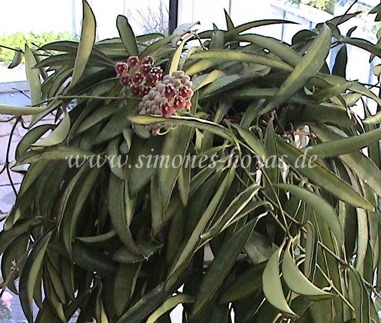 Hoya wayetti ganze Pflanze mit Blüte