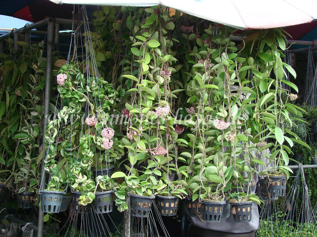Hoya compacta auf einem Pflanzenmarkt in Bangkok