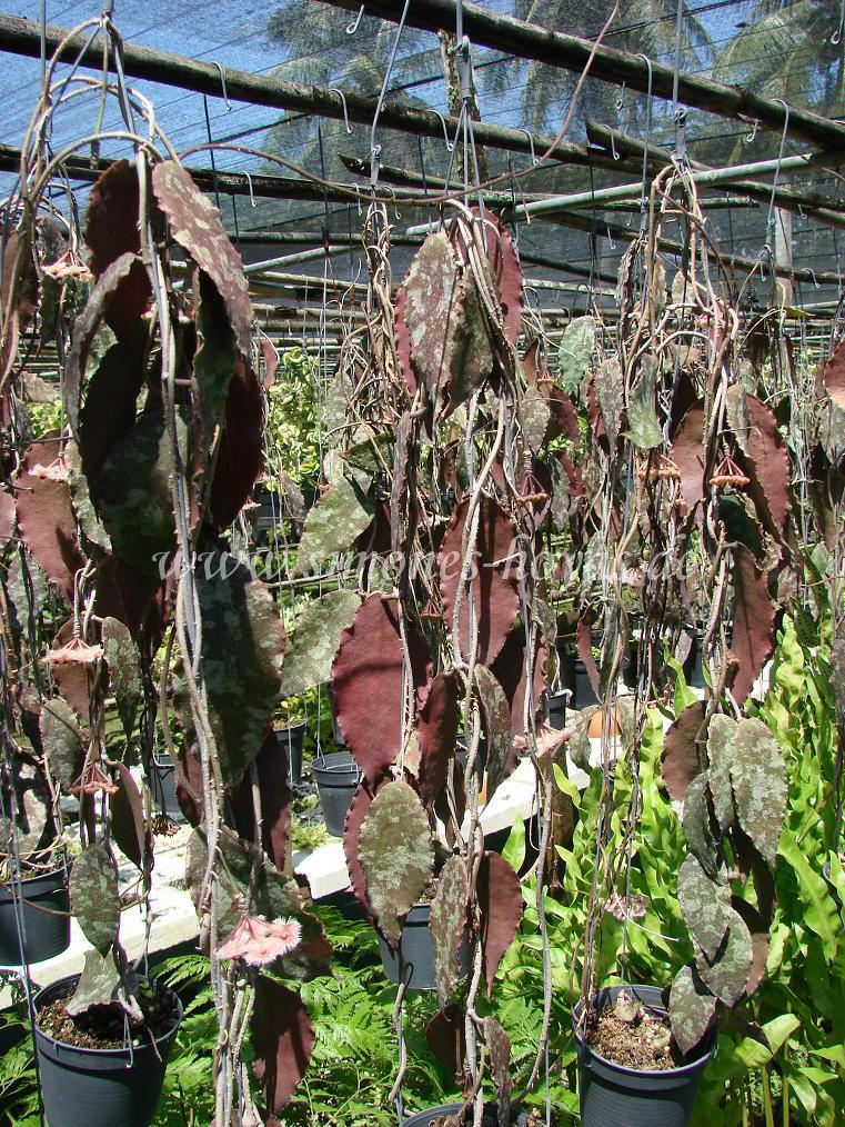 Hoya caudata mehrere Pflanzen in Gärtnerei